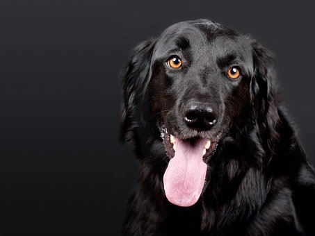 Dog, Pet, Hovawart, Black, Dog Head